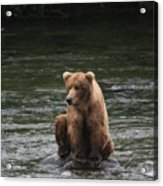 Bear Sitting On Water Acrylic Print by Tracey Hunnewell