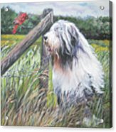 Bearded Collie With Cardinal Acrylic Print by Lee Ann Shepard