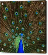 Beautiful Peacock Acrylic Print by Larry Marshall