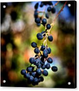 Berry Cold Out Acrylic Print by Karen M Scovill