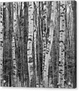 Birch Stand Acrylic Print by Ron Kochanowski - www.kochanowski.us