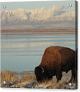Bison In Front Of Snowy Mountains Acrylic Print by Mathew Levine