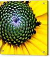 Black Eyed Susan Goldsturm Flower Acrylic Print by Ryan Kelly