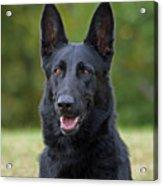 Black German Shepherd Dog Acrylic Print by Sandy Keeton
