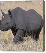 Black Rhino On The Masai Mara Acrylic Print by Sandra Bronstein