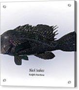 Black Seabass Acrylic Print by Ralph Martens