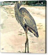 Blue Heron On Shell Beach Acrylic Print by Shawn McLoughlin