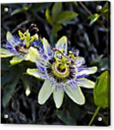 Blue Passion Flower Acrylic Print by Kelley King
