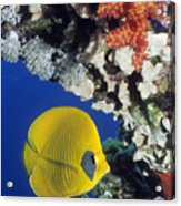 Bluecheek Butterflyfish Acrylic Print by Georgette Douwma