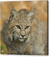 Bobcat Felis Rufus Acrylic Print by Grambo Photography and Design Inc.