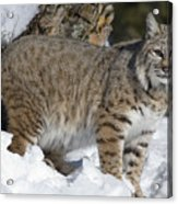 Bobcat Lynx Rufus In The Snow Acrylic Print by Matthias Breiter