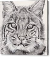 Bobcat Acrylic Print by Marqueta Graham