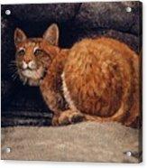 Bobcat On Ledge Acrylic Print by Frank Wilson