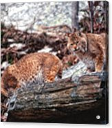 Bobcats On The Loose Acrylic Print by Brad Hoyt