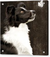 Border Collie Dog Watching Butterfly Acrylic Print by Ethiriel  Photography