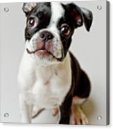 Boston Terrier Dog Puppy Acrylic Print by Square Dog Photography
