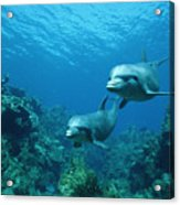 Bottlenose Dolphins And Coral Reef Acrylic Print by Konrad Wothe