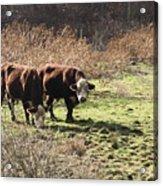 Bovine Pastures Acrylic Print by B Rossitto