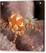Boxer Crab On Sponge Lybia Tesselata Acrylic Print by Tim Laman