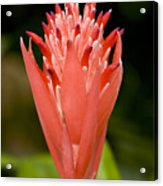 Bromeliad Flower, An Epiphyte From C & Acrylic Print by Tim Laman