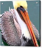 Brown Pelican . 7d8291 Acrylic Print by Wingsdomain Art and Photography