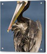 Brown Pelican Preening La Jolla Acrylic Print by Sebastian Kennerknecht