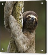Brown-throated Three-toed Sloth Acrylic Print by Ingo Arndt