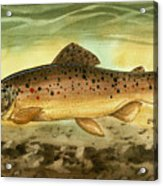 Brown Trout Acrylic Print by Sean Seal