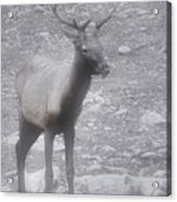 Buck In Fog On Hurricane Ridge - Olympic National Forest - Olympic National Park Wa Acrylic Print by Christine Till