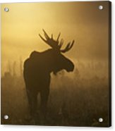 Bull Moose In Fog Acrylic Print by Tim Grams