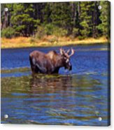 Bull Moose In The Mountains Acrylic Print by Terril Heilman