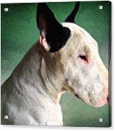 Bull Terrier On Green Acrylic Print by Michael Tompsett