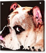 Bulldog Art - Let's Play Acrylic Print by Sharon Cummings