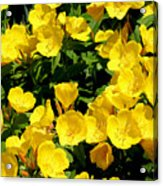 Buttercup Flowers Acrylic Print by Corey Ford