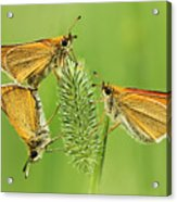Butterflies Acrylic Print by Mircea Costina Photography