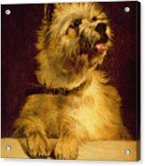 Cairn Terrier   Acrylic Print by George Earl