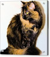 Calico Cats Acrylic Print by Cheryl Poland