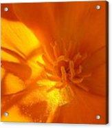 California Poppy Acrylic Print by Liz Vernand