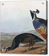 Californian Partridge Acrylic Print by John James Audubon