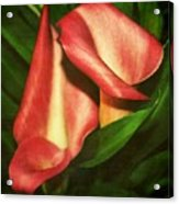Calla Lillys Acrylic Print by Cathie Tyler