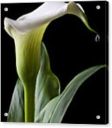 Calla Lily With Drip Acrylic Print by Garry Gay
