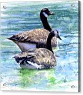 Canada Geese Acrylic Print by John D Benson