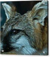 Canis Species Acrylic Print by Douglas Barnett