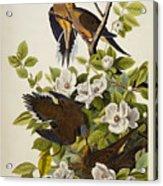 Carolina Turtledove Acrylic Print by John James Audubon