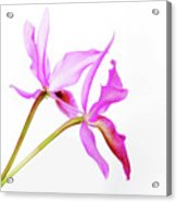 Cattleya Guatemalensis Acrylic Print by Charline Xia