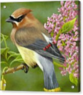 Cedar Waxwing On Lilac Acrylic Print by Karen Coombes