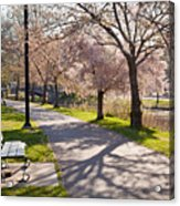 Charles River Cherry Trees Acrylic Print by Susan Cole Kelly