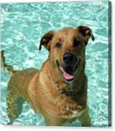 Charlie In Pool Acrylic Print by Rebecca Wood