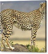 Cheetah Acinonyx Jubatus On Termite Acrylic Print by Winfried Wisniewski