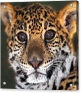 Cheetah Acrylic Print by Craig Incardone